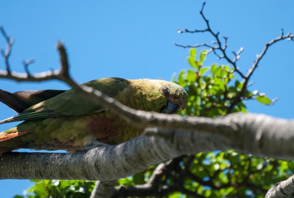 1-Najjužnejša vrsta papige na svetu