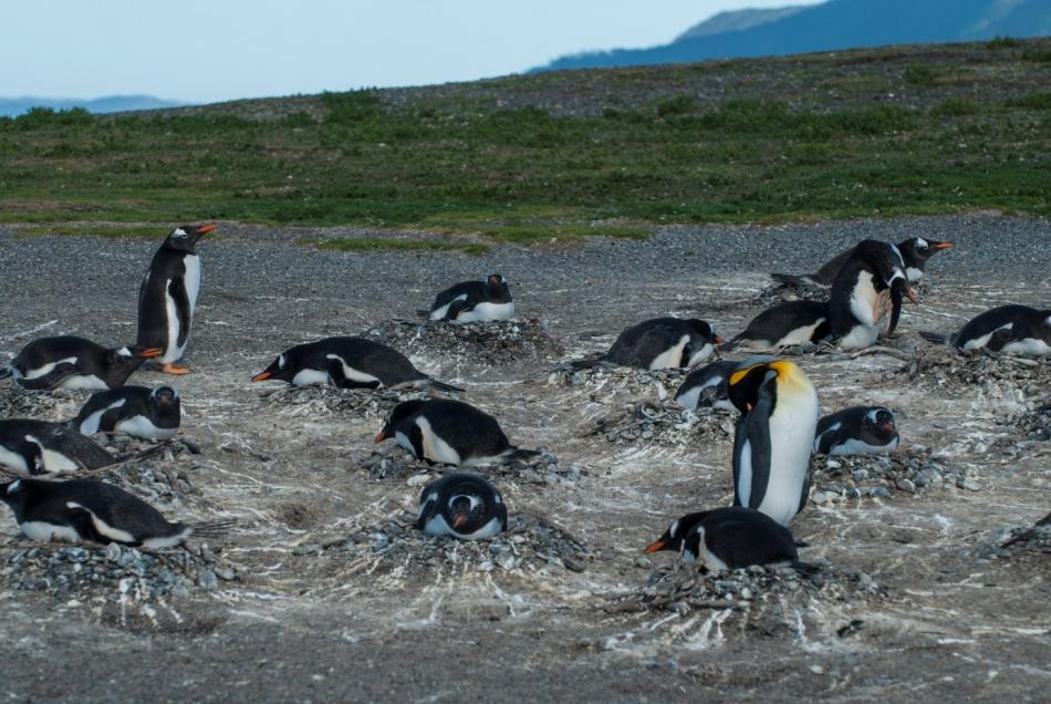 10-Osamljeni kraljevi pingvin v gnezdišču dolgorepih pingvinov