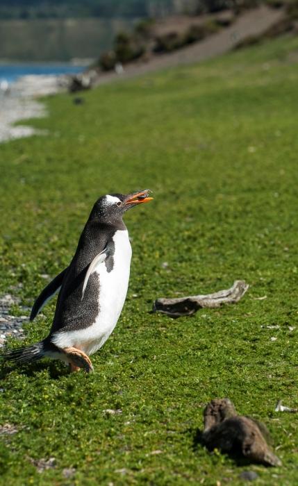 11-Vodič nam je rekel, naj ne jemljemo ničesar z otoka-ne paličic, ne kamnov, kajti iz vsega si pingvini delajo gnezda...kot tale