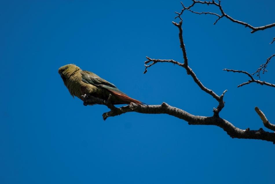 2-Najjužnejša vrsta papige na svetu
