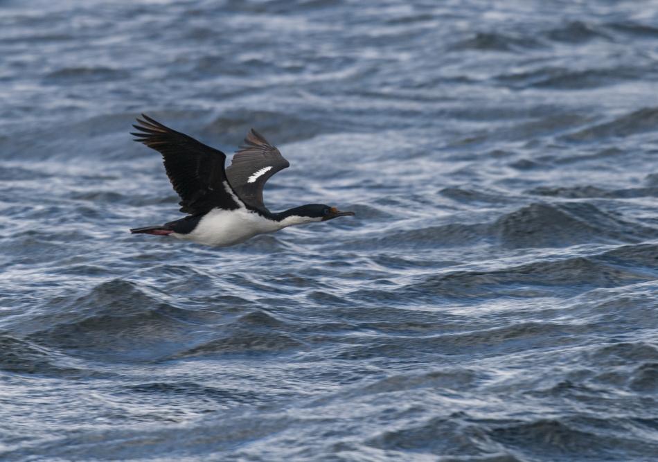3-En od tisočih kormoranov v Beaglovem prelivu