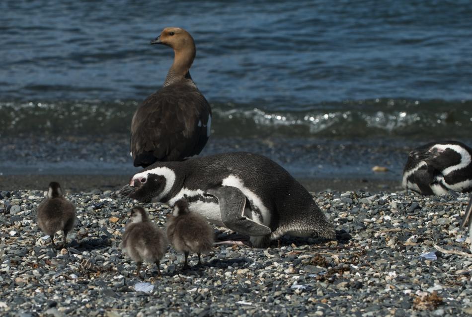 4-Magellanov pingvin preganja mladiče Magellanove gosi, ki sledijo nam