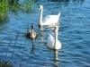 ohridsko-jezero-labodi