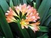 Madeira-cvetje