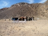24-Beduinski šotori sredi ničesar