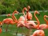 Ekvador-flamingo