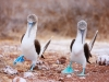 Galapagos-paritveni ples modronogih sul