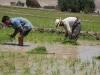 Iran-Okolica Shiraza-Delo na riževih poljih