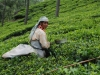 Čajna plantaža