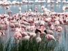 kenija-tanzanija-flamingi