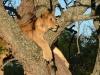 kenija-tanzanija-levinja