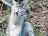 kenija-tanzanija-opica