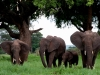 kenija-tanzanija-sloni