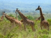 kenija-tanzanija-svet-ziraf