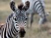 kenija-tanzanija-zebra