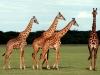 kenija-tanzanija-zirafe