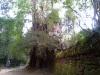 09. Angkor - džungelski prizor srednjeveške kamboške metropole Angkor