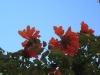 Madeira-Afriški tulipan