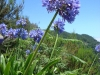 Madeira-Agapantos