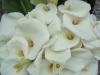 Madeira-Kala lilija
