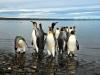 Argentina-Tierra del Fuego-pingvini