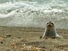 Patagonija-morski lev