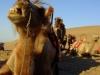 dvogrbe-taklamakanske-kamele