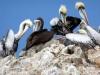 Ošabni perujski pelikani..