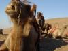 svilena-cesta-centralnoazijske-dvogrbe-kamele