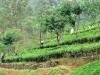 TAMILCI - Večinskemu delu prebivalstva, Singalcem, je bilo delo na čajnih plantažah mučno in ponižujoče.