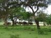 Ocenjujejo, da na Šrilanki živi okoli 6000 slonov.
