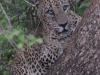Tu smo bili z leopardom res iz oči v oči. (foto Sara Golob Rantaša)