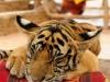 tajska-tiger