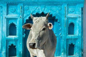g1-indija-sveta-krava-v-modri-palaci