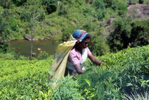 Šrilanka-obiralke čaja v višavju
