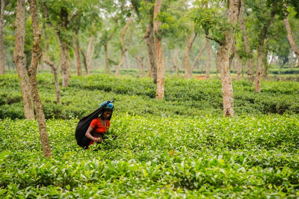 Banglades-Srimangal-obiralka čaja