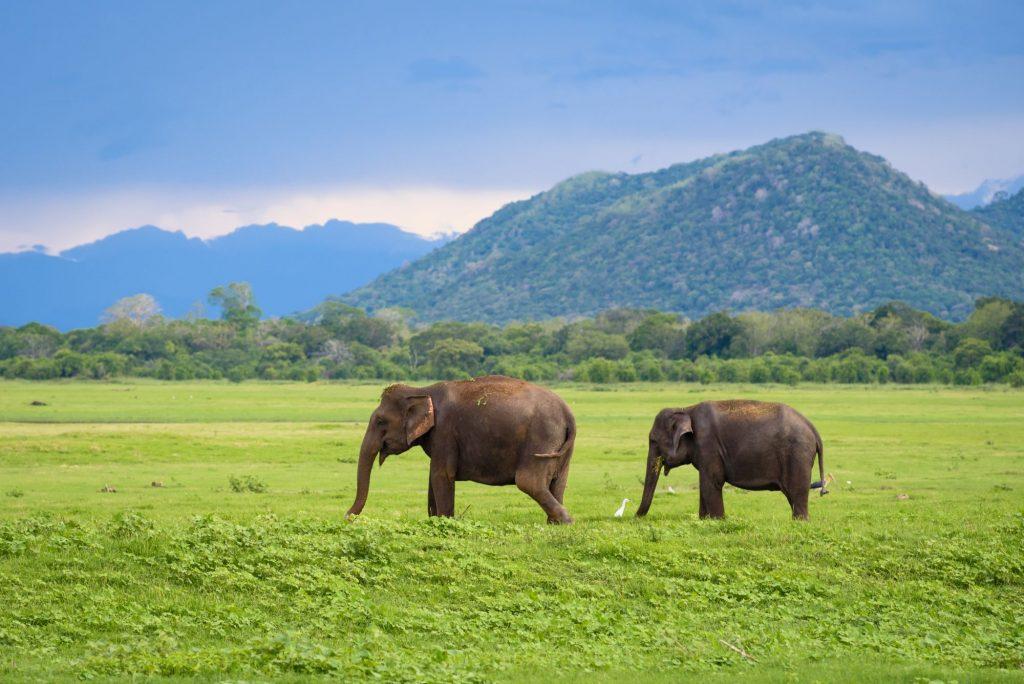 Šrilanka-slona