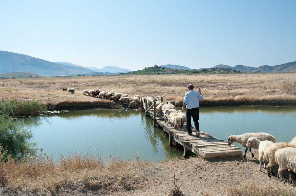 Albanija-Butrint-pastir s čredo ovac
