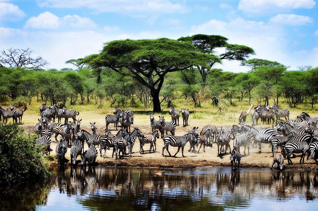 Tanzanija-Zebre
