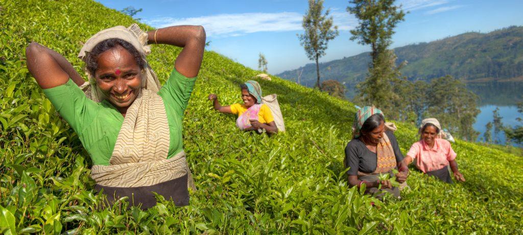 rilanka obiralke čaja 1024x460 - Šrilanka se vrača