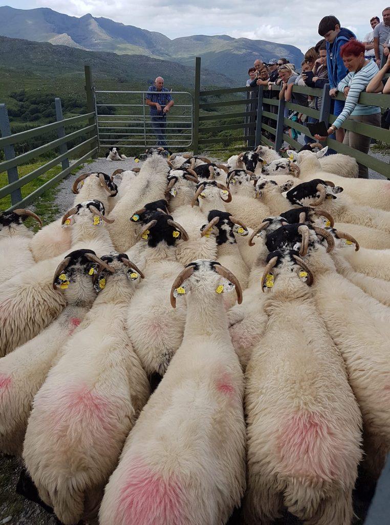 Irska ovce 762x1024 - Vtisi potnikov poletnih potovanj