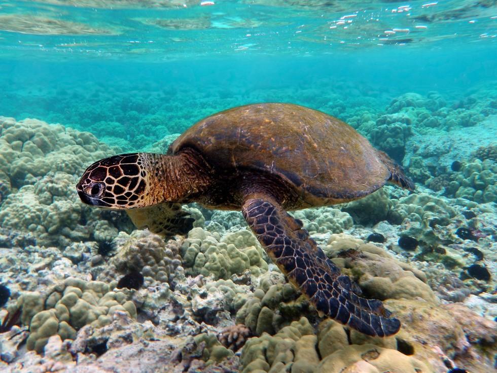 Kostarika želva - Srednja in Južna Amerika = LATINSKA AMERIKA