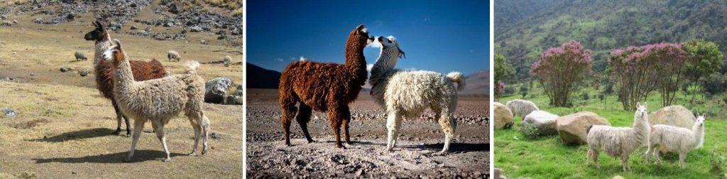ZZ 13 LAME 1024x252 - Peru - Med potomci Inkov