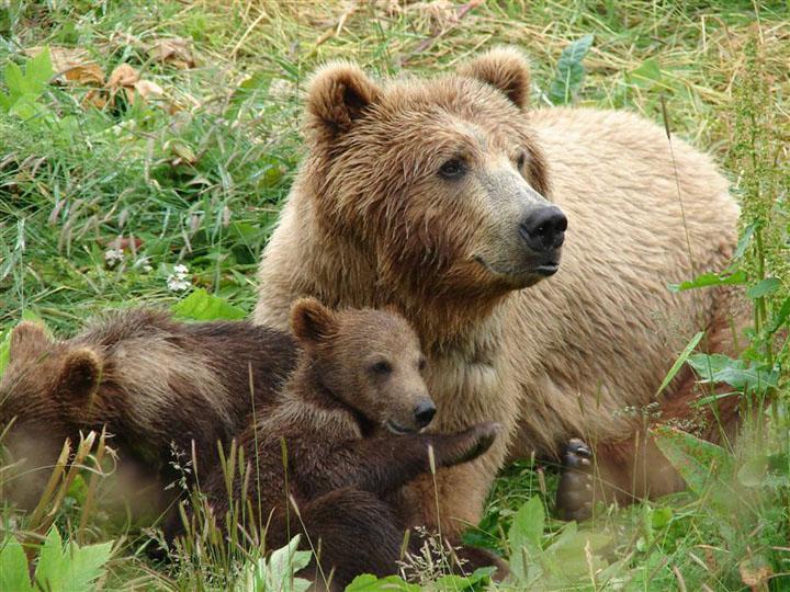 opazovanje medveda2 - V deželi medveda za TURISTIČNE BONE (Loški Potok in Notranjski Kras)
