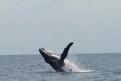 10.-Obalo-Pacifika-vsako-leto-obiscejo-kiti-Grbavci.