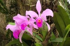20.-in-flore-orhideja-Cattleya-trianae.