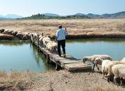 Albanija-Butrint, pastir s čredo ovac