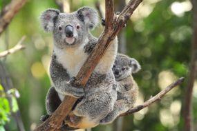 Avstralija-koale