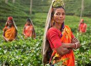 Bangladeš, čajne plantaže - Srimangal