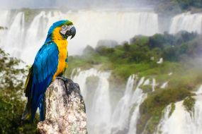 Brazilija-Foz de Iguazu-rumenomodra ara